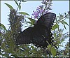 Black Tiger Butterfly